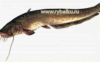 Сом рыбалка
