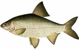 Тарань фото рыба