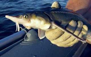 Рыбалка на осетра