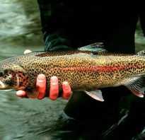 Что за рыба таймень