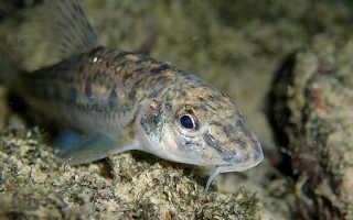 Пескарь рыба фото