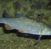 Рыба елец фото