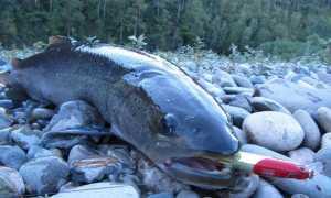 Фото рыбы таймень