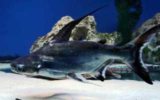 Что за рыба пангасиус