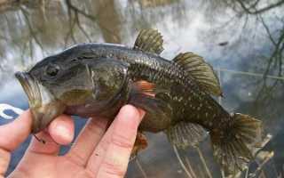 Что за рыба ротан