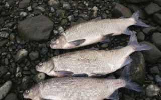 Щекур рыба фото описание