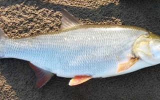 Рыба шереспер