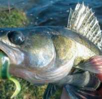 Судак морская рыба