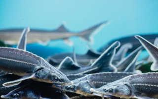 Северные рыбы