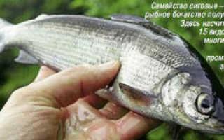 Сиговые виды рыб