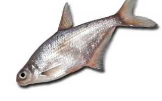 Рыба сопа фото