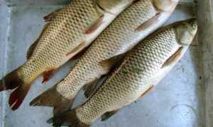 Рыба белый амур костлявая или нет