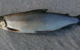 Сиговые рыбы