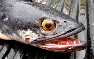 Рыба змейголова фото