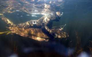 Сом подводная охота