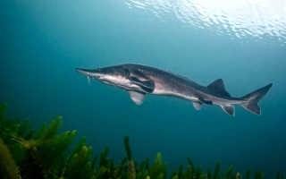 Стерлядь фото рыба