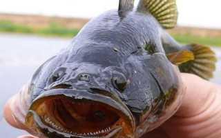 Фото ротана рыбы