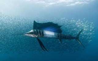 Рыба парусник фото