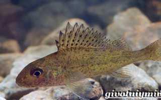 Рыба ерш речной