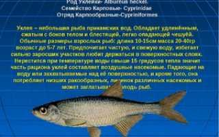 Рыба верховодка