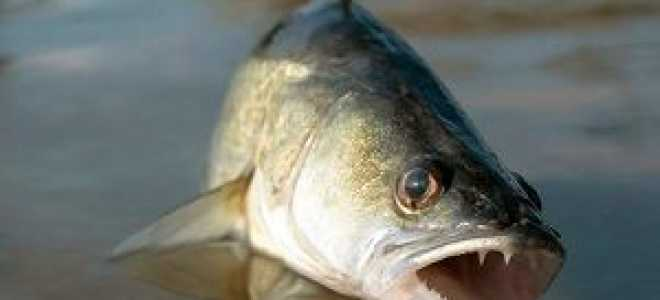 Оснастка для ловли судака на живца