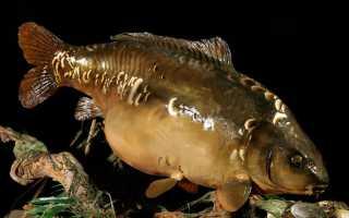 Рыба карп зеркальный фото