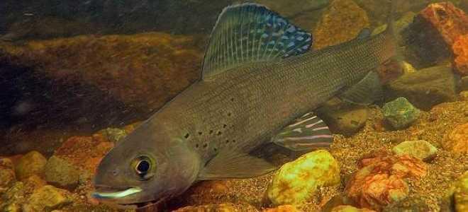Хариус рыба