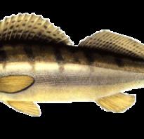 Судак рыба описание