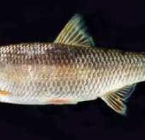 Рыба момчик
