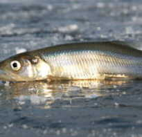 Рыба ряпушка рецепты приготовления