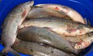 Что за рыба муксун