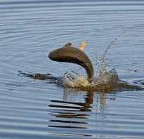Рыба белый амур где водится