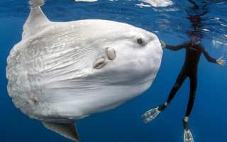 Рыба голова