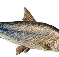 Рыба муксун википедия