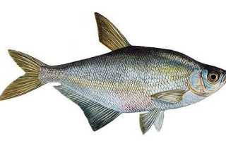 Рыба синец