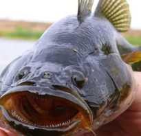 Рыба ратан съедобная или нет