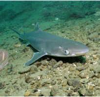 Черноморская акула катран фото
