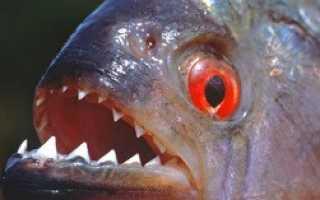 Хищник рыба