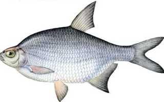 Рыба густера википедия
