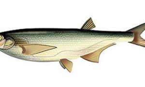 Рыба косарь