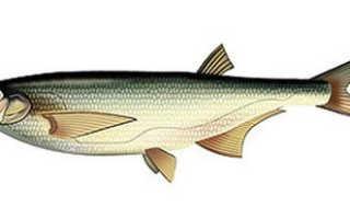 Чехонь рыба фото