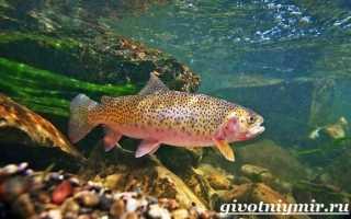Речная форель фото рыбы