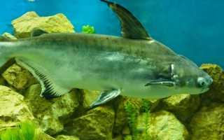 Что за рыба пангасиус фото