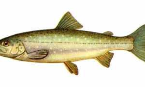 Рыба с красными пятнами на боках